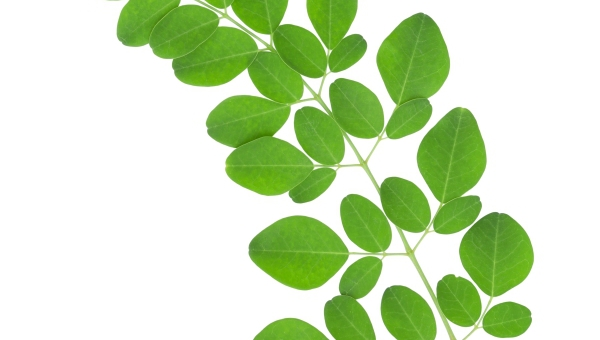 Moringa oleifera: A Review of the Medical Evidence for Its Nutritional, Therapeutic, and Prophylactic Properties